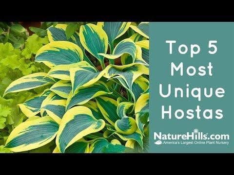 Top 5 Most Unique Hostas | NatureHills.com