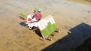 Rice planting technique