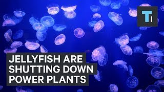 Swarms of jellyfish are shutting down power plants around the world