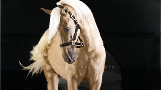 TOP QUALITY PALOMINO PRE 1.70 meter 2.5 years • MARTIN • FANTASTIC PRE HORSES