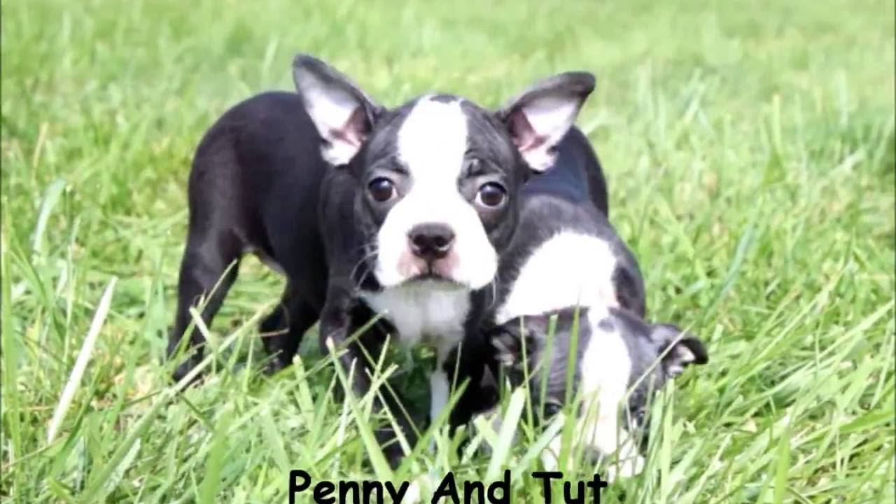 Puppies For Sale Boston Terrier Puppies Penny Tut And Mikey