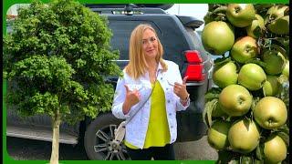 Как посадить дерево ? 20 ФРУКТОВЫХ ДЕРЕВЬЕВ ВО ДВОРЕ ЯБЛОНЯ,ТУТОВКА,СЛИВА,ГРУША,ОРЕХ