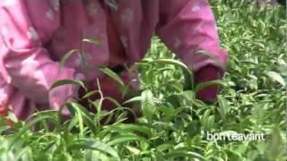 Dong Ding Tea Harvest
