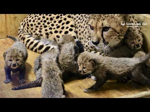 Cheetah cubs at 3 weeks old at Saint Louis Zoo