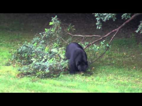 Ashley - DEEP Releases List of Connecticut Black Bear Sightings