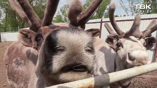 Северные олени в центре Красноярска