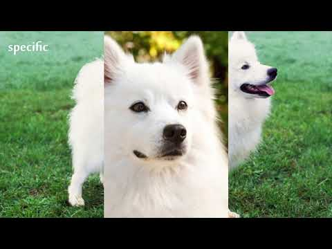 Details about American Eskimo Dog  Specific information about animals  Animal wikipedia series anima