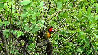 Gorgeous bushshrike a bit soaked in Hluhluwe game reserve..