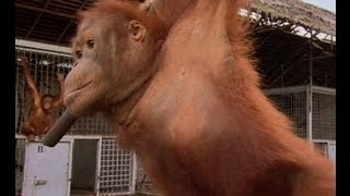 Mustopa moves home - Orangutan Diary - BBC