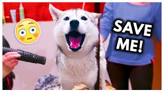 Dramatic Husky has MELTDOWN at…