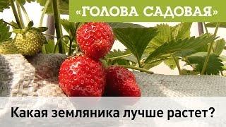 Голова садовая - какая земляника лучше всего растет в саду?