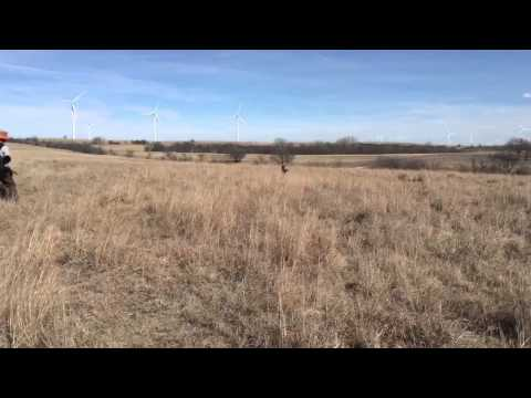 German Shorthair Fetches a Quail