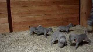 Weimaraner Puppies Almost 5 Weeks Old