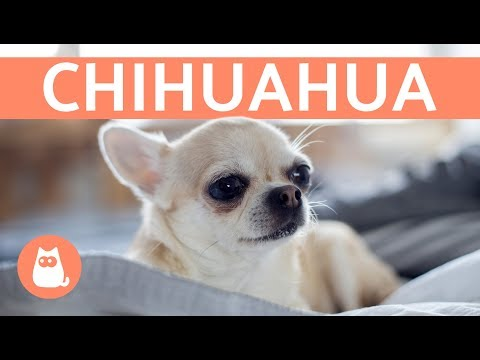 La raza de perro chihuahua