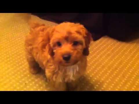 Tessa My Apricot Cockapoo Puppy