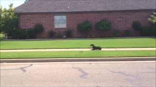 Lilly Puppy Training Tulsa Oklahoma