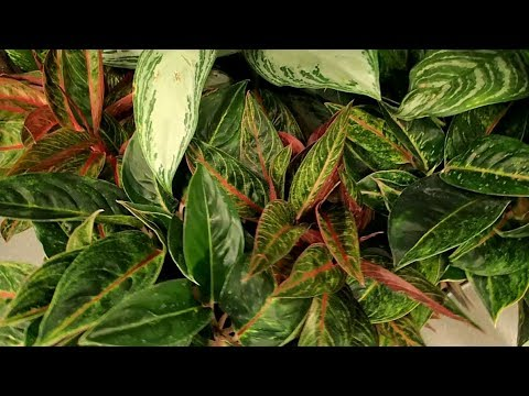 Different Kinds Of Aglaonema Youtube