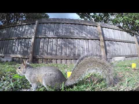 Eastern Gray Squirrels Compilation Up Close Eating Talking Fighting and More