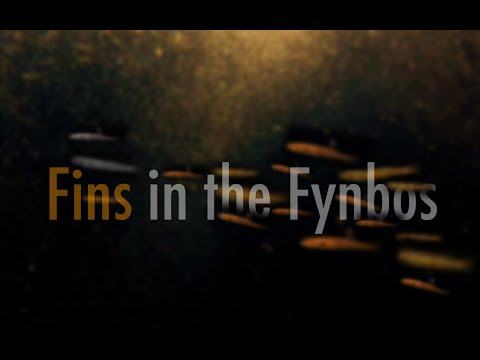 Fins In The Fynbos: The Hidden Struggle Of South Africa's Freshwater Fish