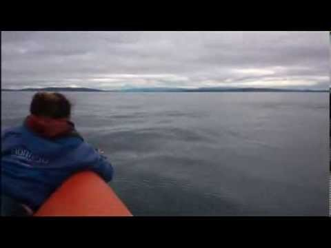 Orcas In The Moray Firth