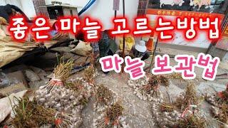좋은 마늘 고르는방법 마늘보관법 - korea garlic