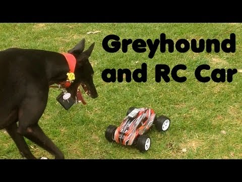 Greyhound chases Radio Controlled Car.