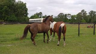 More Pregnant Mare Thing-Miss Karma Acting like A Stallion, Mounting Celeste, April 15, 2018
