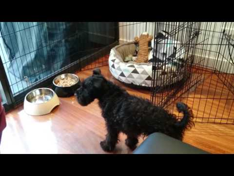 Excited Miniature Schnauzer puppy waiting for dinner
