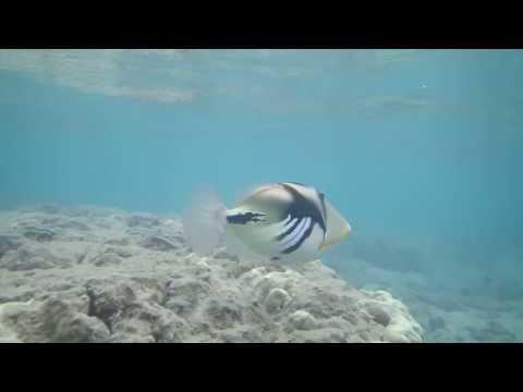 Reef Triggerfish at Hanauma Bay, Oahu, Hawaii - Snorkeling