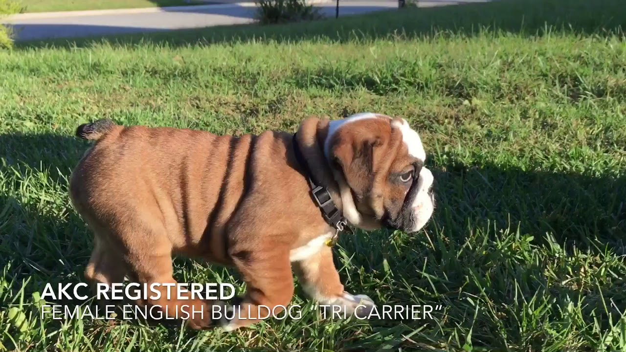 english bulldog puppies for sale; akc registered; tri fawn english bulldog;  manmade kennels puppies