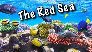 The RED SEA in Sunrise Royal Makadi Resort 5*. EGYPT, Hurghada(More vidoe from EGYPT here: Safari in Desert Sahara. EGYPT, Hurghada 2016 - https://youtu.be/2XFLhs8wF1M The RED SEA in Sunrise Royal Makadi Resort ..., 2017-01-21T07:50:35.000Z)
