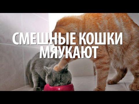 Кошки разговаривают. Забавные кошки. Кошки мяукают