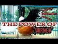 Pancingan Murai Borneo Agar Emosi Murai Apapun Langsung Respon Rumped Shama  Mp3 - Mp4 Download