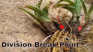 How To Dividing Daylilies - Daylily Perennial
