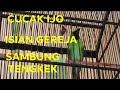 Cucak Ijo Gacor Tembakan Gereja Tarung Sambung Tengkek Buto  Mp3 - Mp4 Download