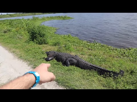 Worlds Largest Alligator! Lakeland, Florida - My Search For GODZILLA of Circle B Park, Wild Gator