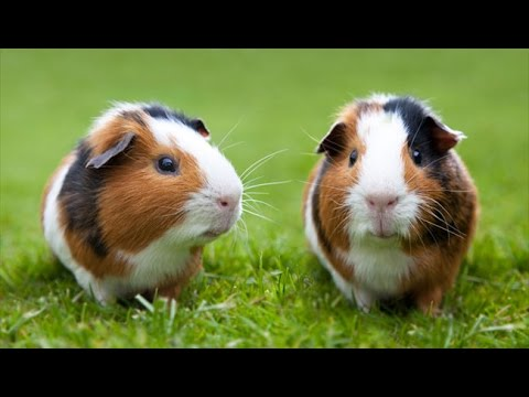 ALL Of The Guinea Pig Breeds!