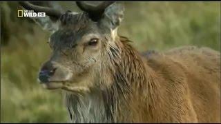 Живая природа Шотландии. Часть 1 Документальный фильм National Geographic