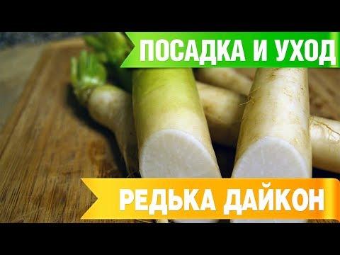 ДАЙКОН ➡ Посадка и уход 🌟 Советы садоводам от HitsadTV