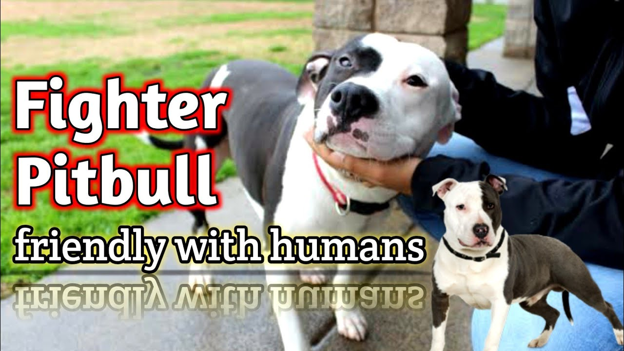 Best quality Pitbull dog #fighter | semi adult | well trained and friendly with humans