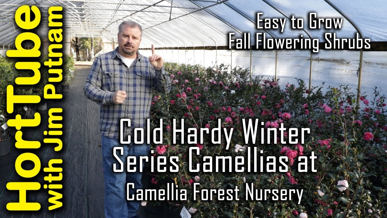Cold Hardy Winter Series Camellias Camellia Forest Nursery