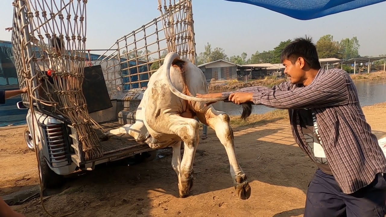 ทีมงานม่วงจับวัวบรามันสวย 48ตัว ตอน3