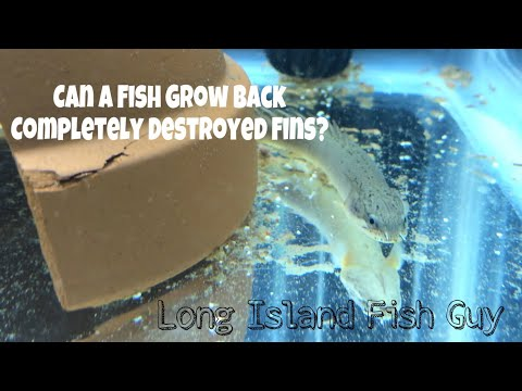 Can A Fish Grow Back Completely Destroyed Fins?