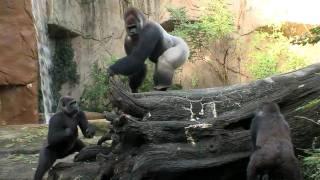 Silverback Gorilla Meets the Girls - Cincinnati Zoo