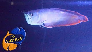 WATCH THIS Before Buying An AROWANA! 10 Things You Should Know About Silver Arowanas, Monster Fish!