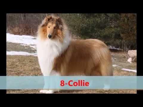 12 Most Quiet Dog  Breeds