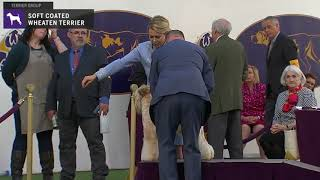 Soft Coated Wheaten Terriers | Breed Judging 2020