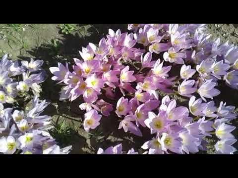 Вопрос: Безвременники (колхикумы) можно пересадить весной, в апреле?