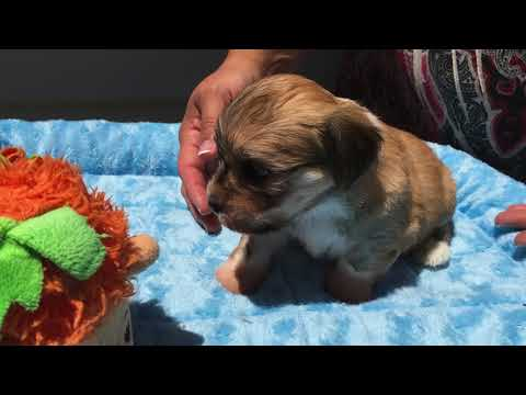 FaustHouse Havanese Puppies 5 weeks old May 2018