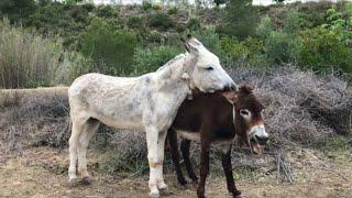 Beautiful Murrah Male Donkey Meeting & Donkey Unwanted Hair Cleaning Machine